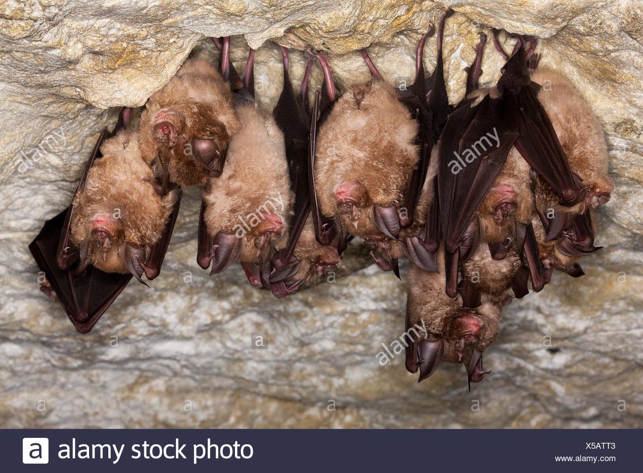 Greater Horsehoe Bat, rhinolophus ferrumequinum, Colony Hibernating in a Cave, Normandy - Stock Image