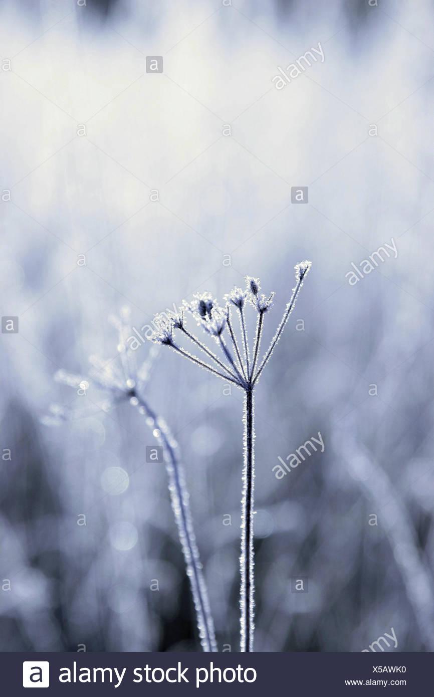 Grass, hoarfrost, sunlight, grass, frost, froze, back light, season, winter, maturity, cold, bald, nature, - Stock Image