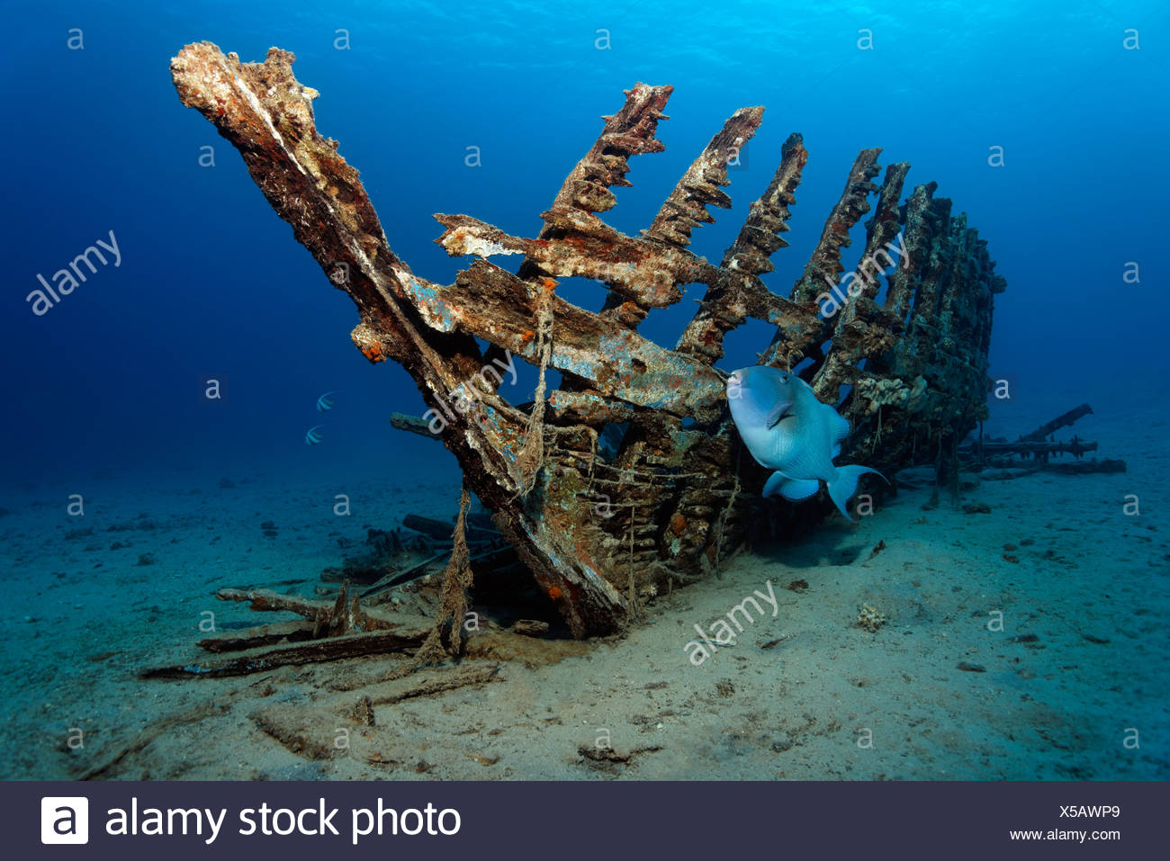 Blue, Trigger fish or Yellow-Spotted Triggerfish (Pseudobalistes fuscus) in front of a wooden ship wreck, Makadi Bay, Hurghada - Stock Image