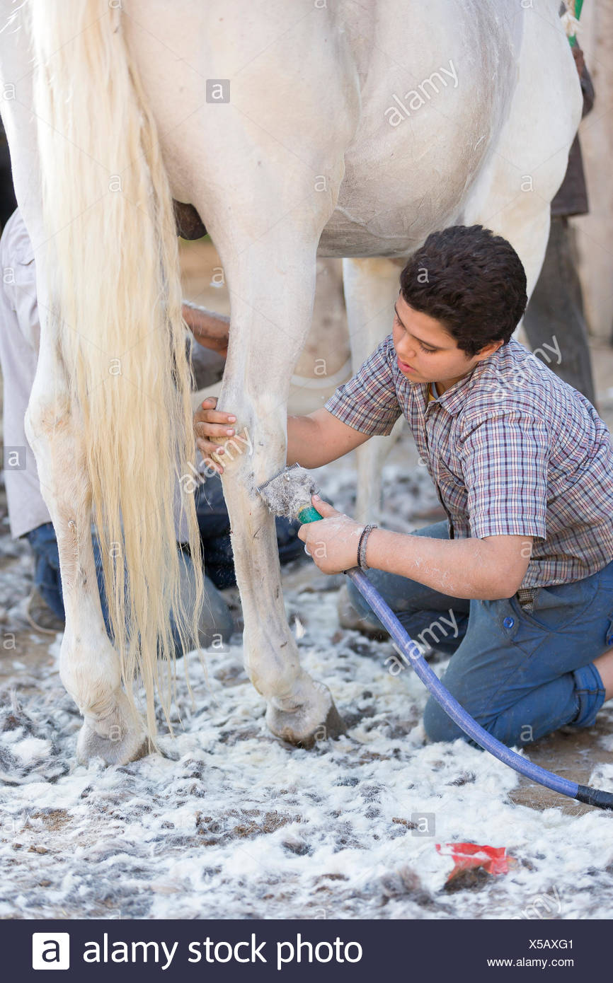Arab Horse, Arabian Horse. Groom clipping the legs of a gray horse. Egypt - Stock Image