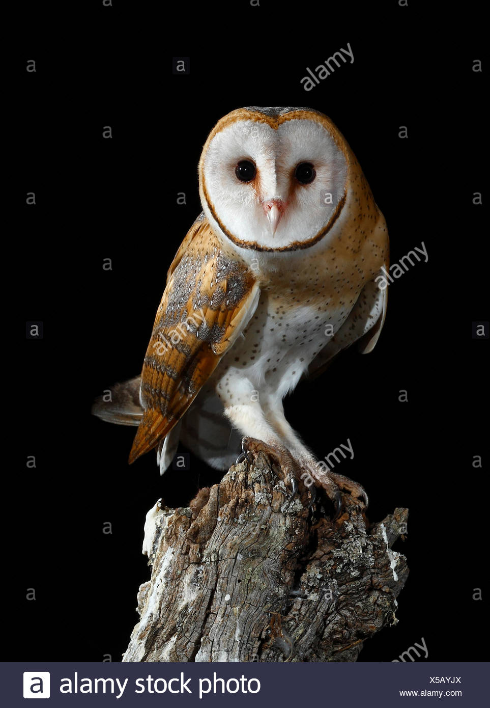 Barn owl coming toon a branch at night - Spain - Stock Image