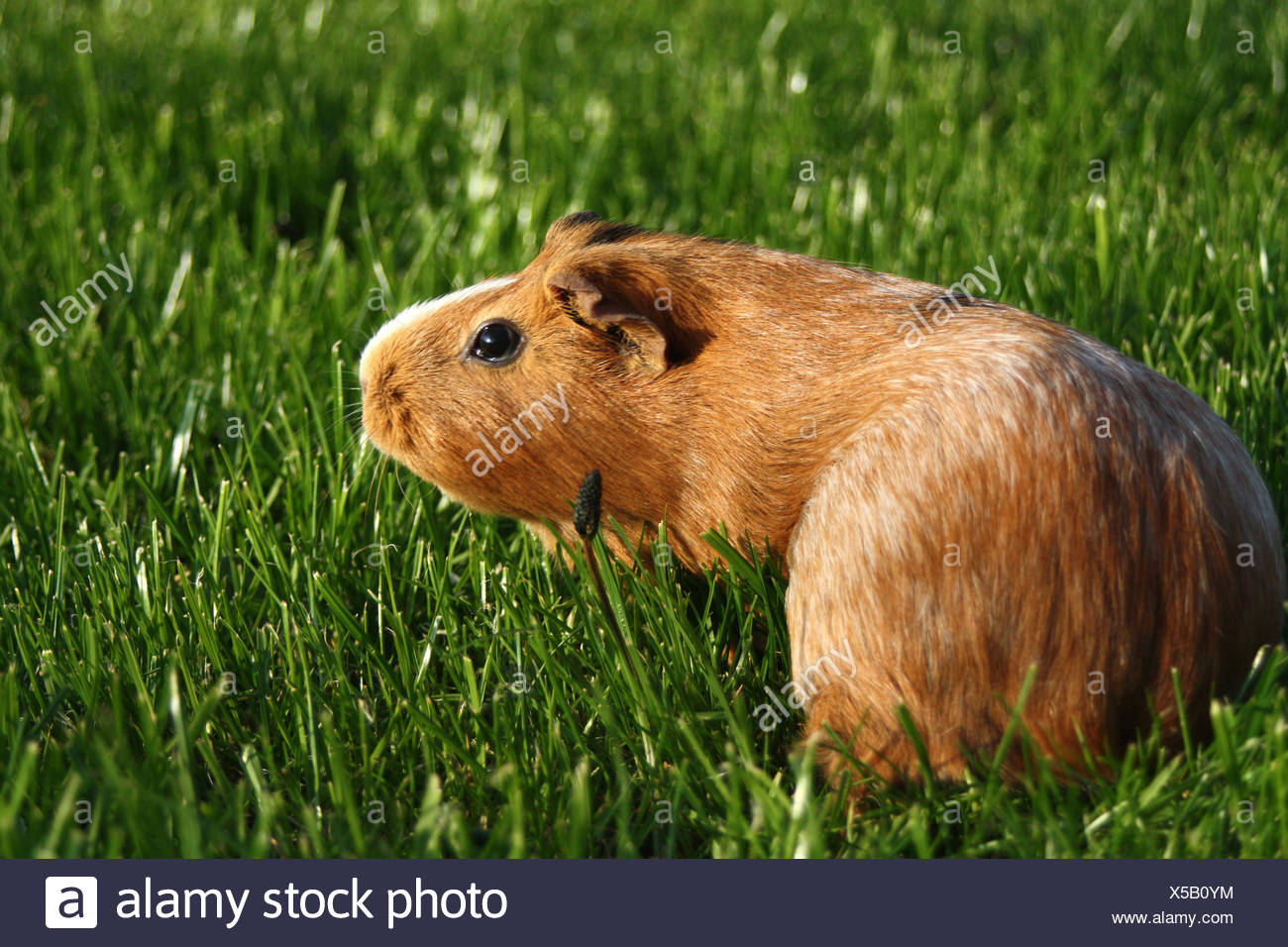 pet green rodent - Stock Image