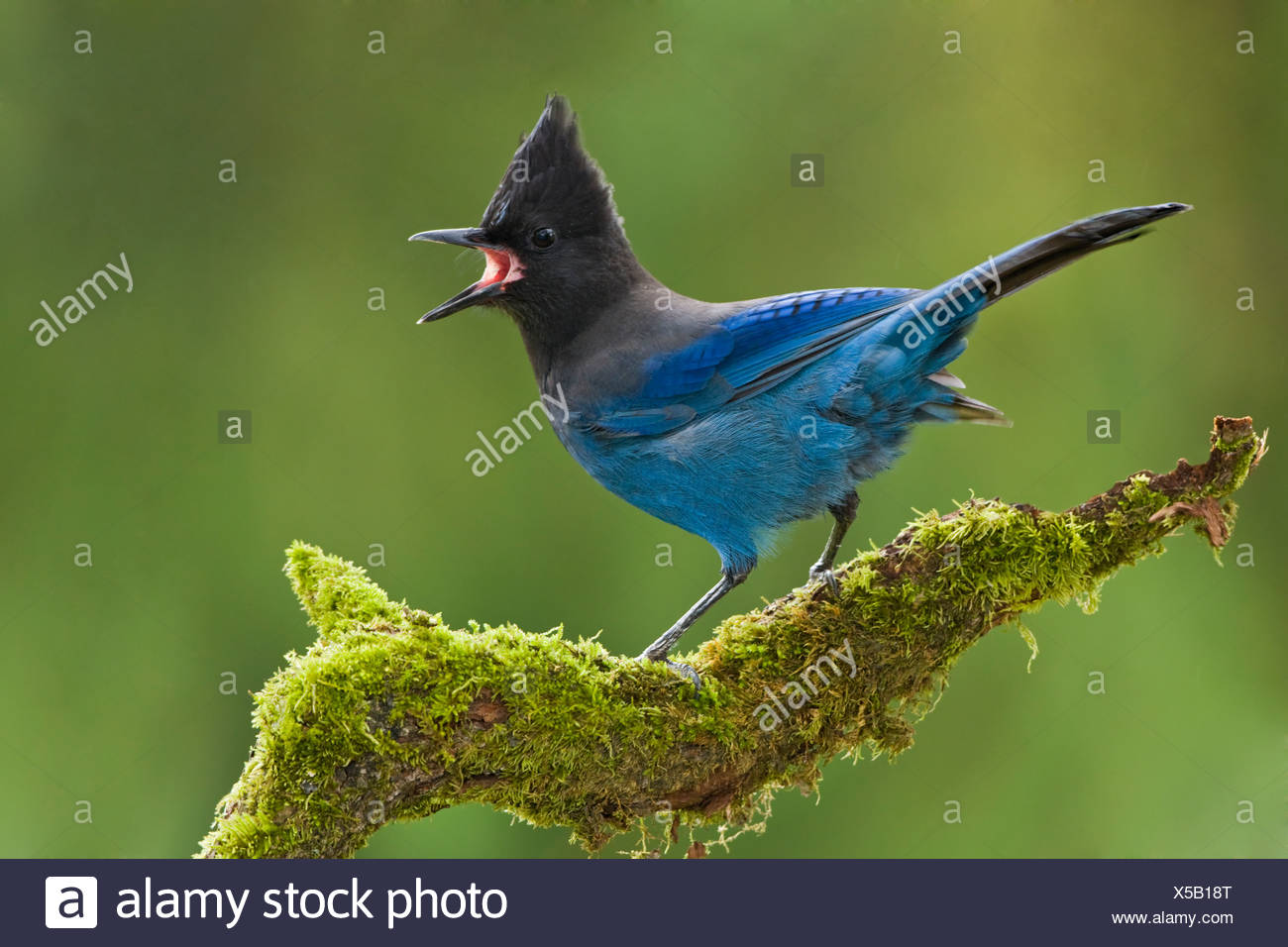 A Steller's Jay (Cyanocitta stelleri) perches on a mossy branch in Victoria, Vancouver Island, British Columbia, Canada - Stock Image