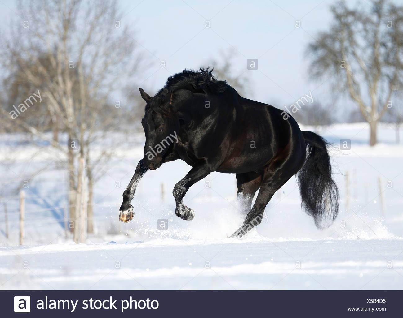 Germany Baden Wuerttemberg Black Horse Running In Snow Stock Photo Alamy