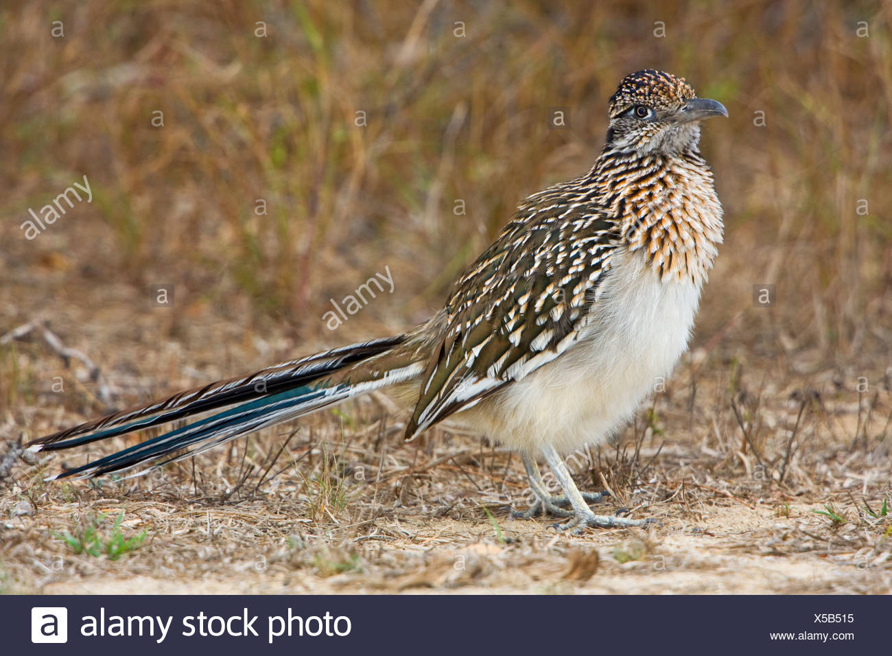 Greater Roadrunner (Geococcyx californianus) in a dry scrubland area of Falcon State Park, Texas, USA - Stock Image