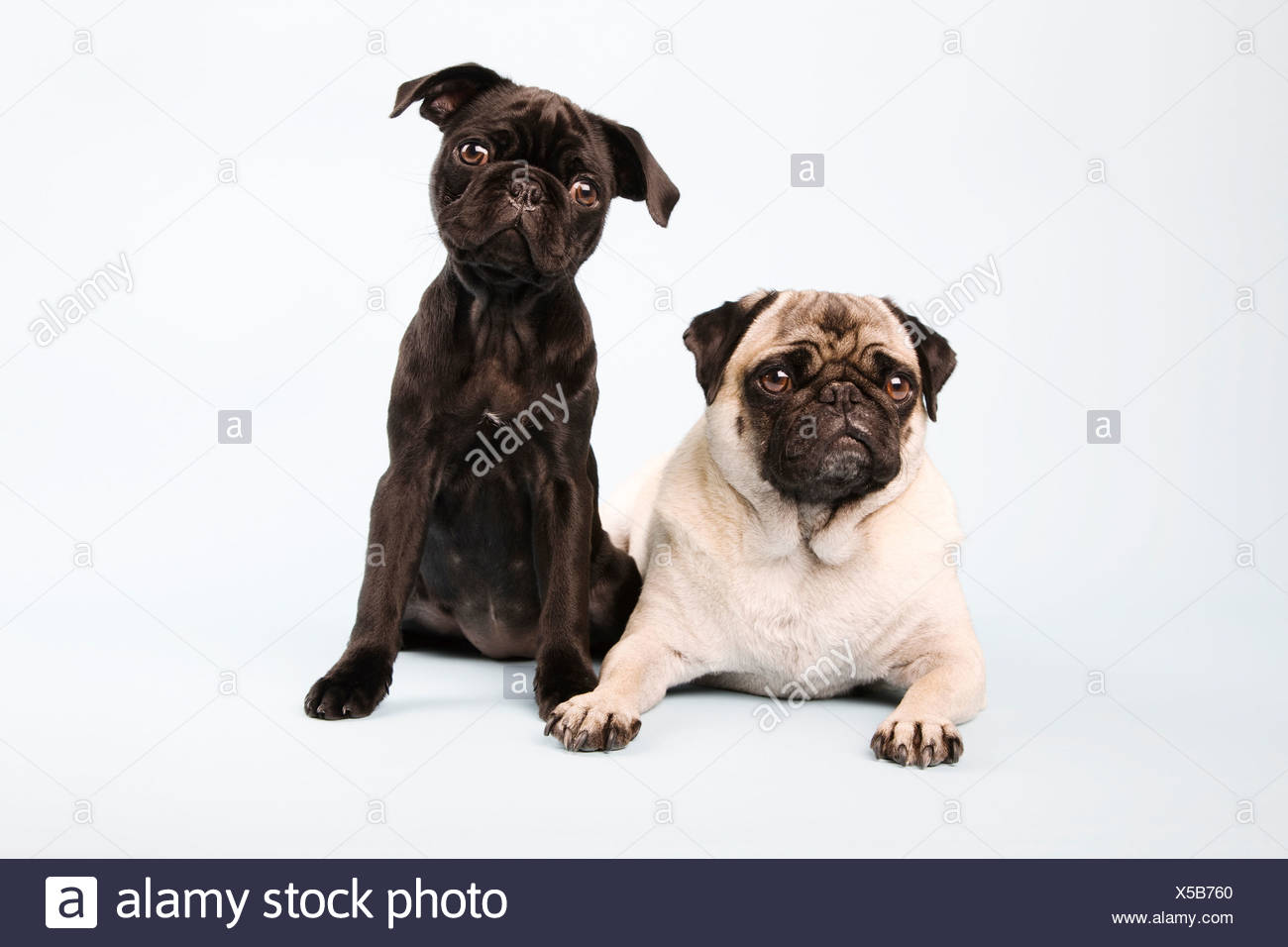 Pug dogs sitting down, portrait - Stock Image