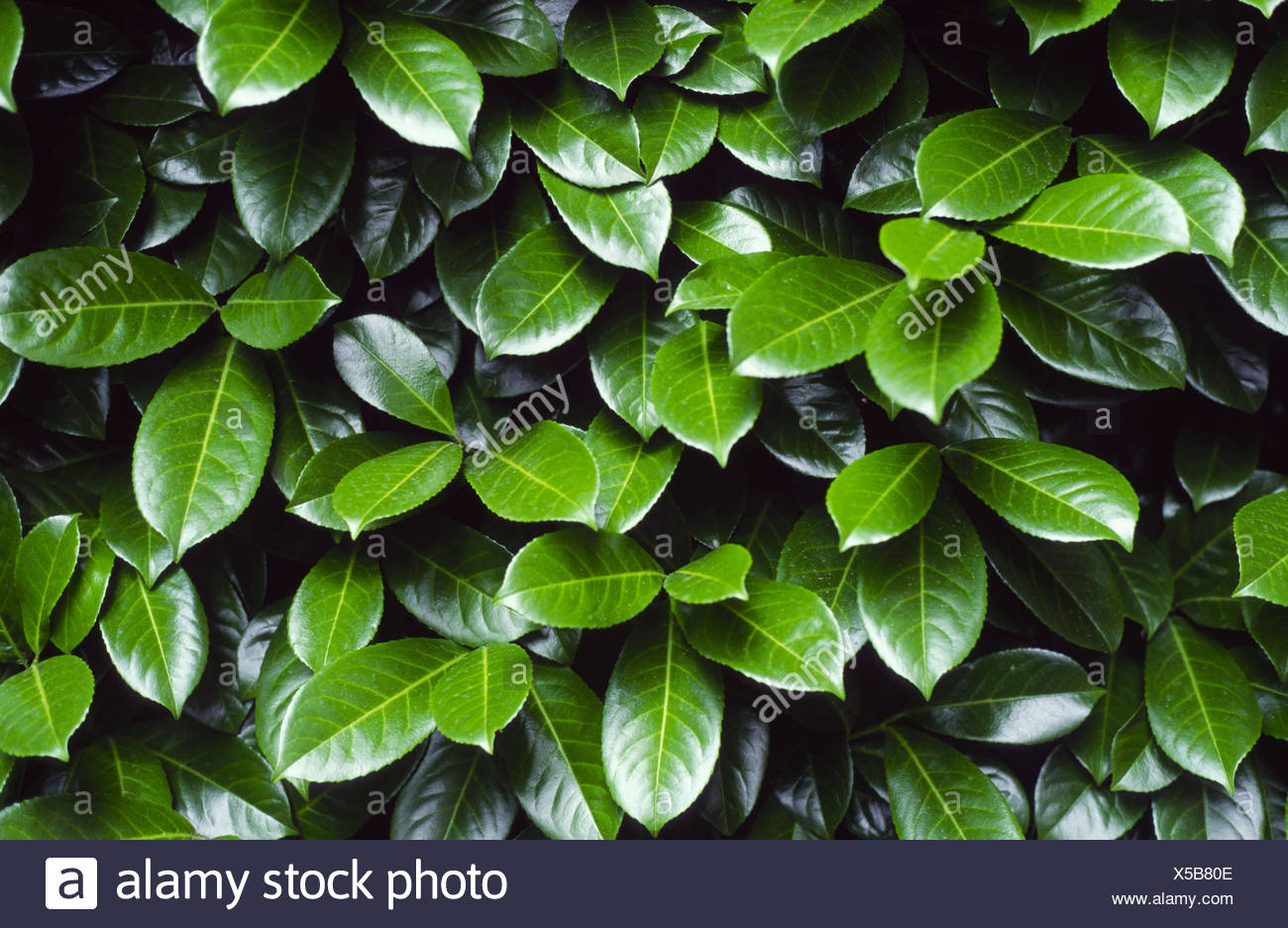 Cherry laurel (Prunus laurocerasus) leaves - Stock Image