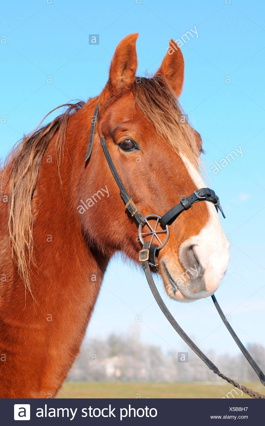 American Saddlebred Horse, bitless bridle / LG-Bridle Stock