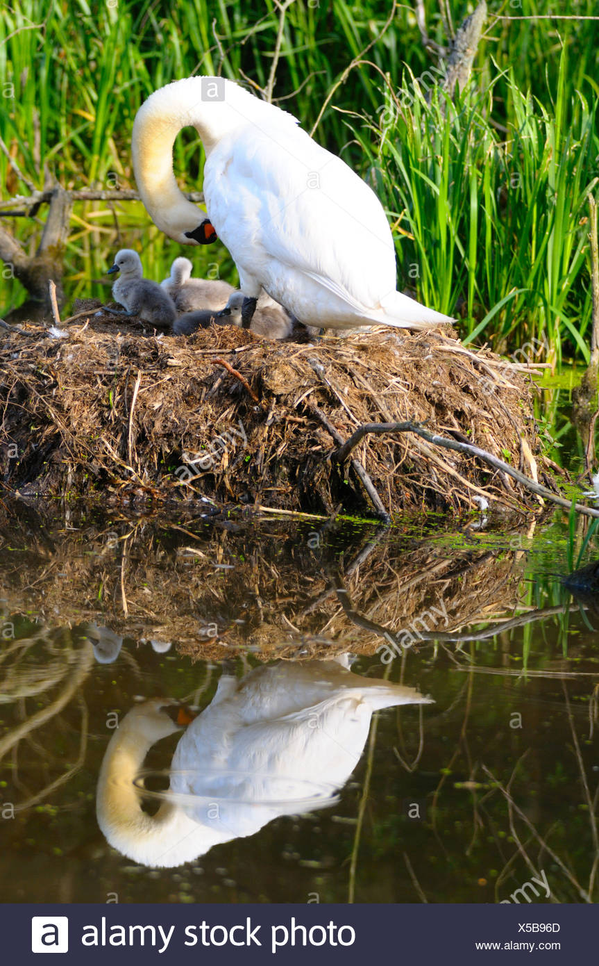 Mute swan (Cygnus olor) with its cygnets in nest Stock Photo