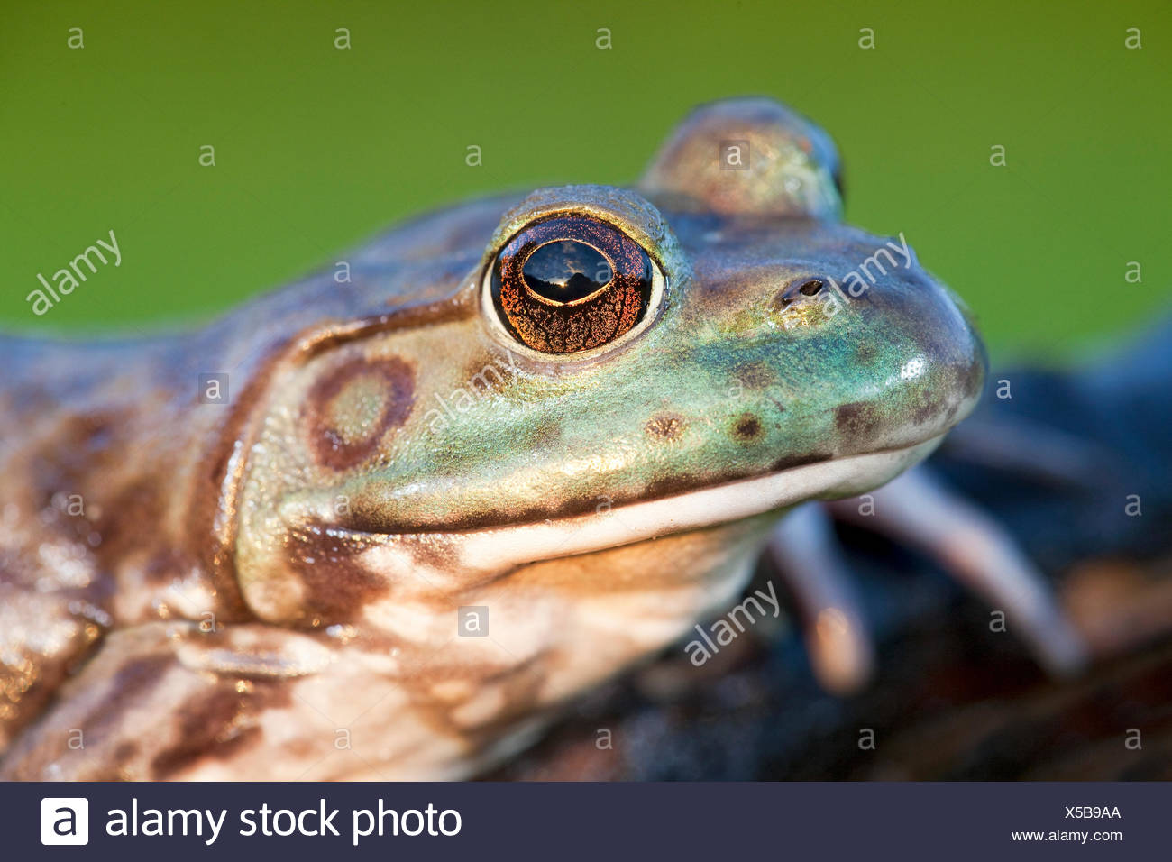 portret of a North American Bullfrog - Stock Image