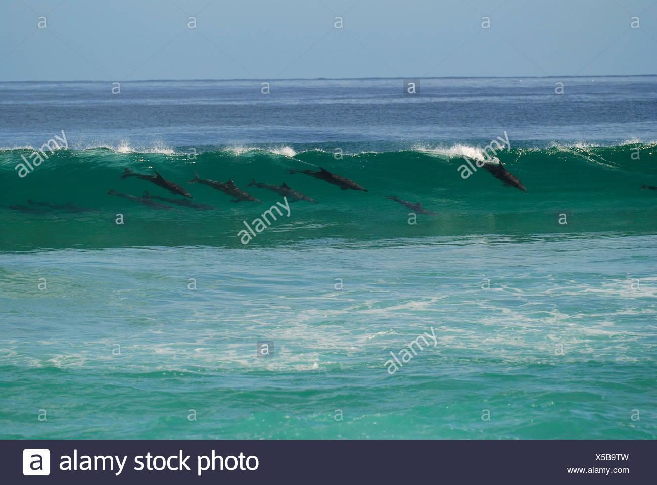 Bottlenose dolphins Tursiops truncatus surfing wave Myall Lakes Nat Park NSW Australia - Stock Image