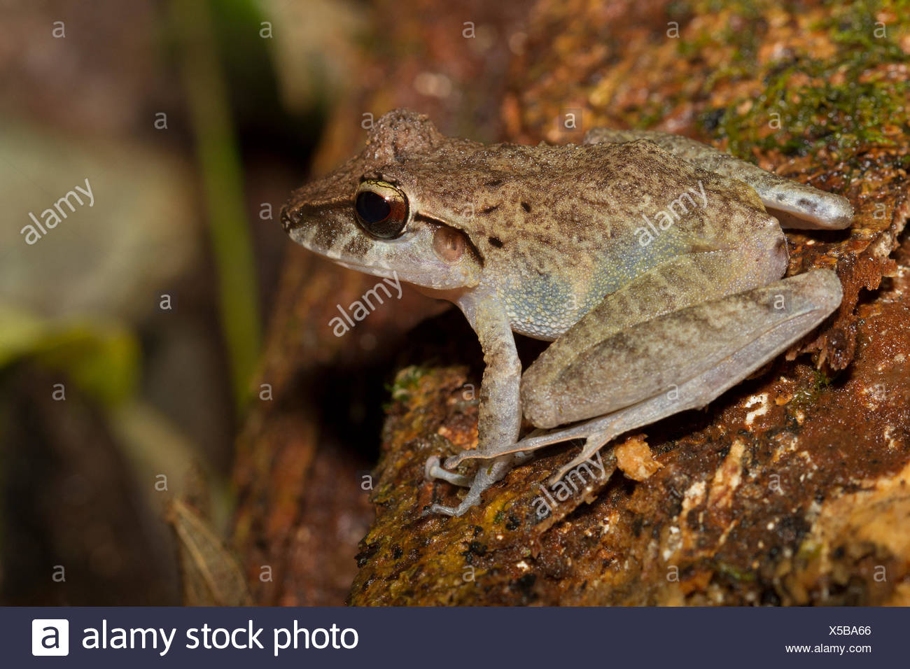 Common Rain Frog, Rana vaillanti, Breviceps acutirostris, Costa Rica, Central America, - Stock Image