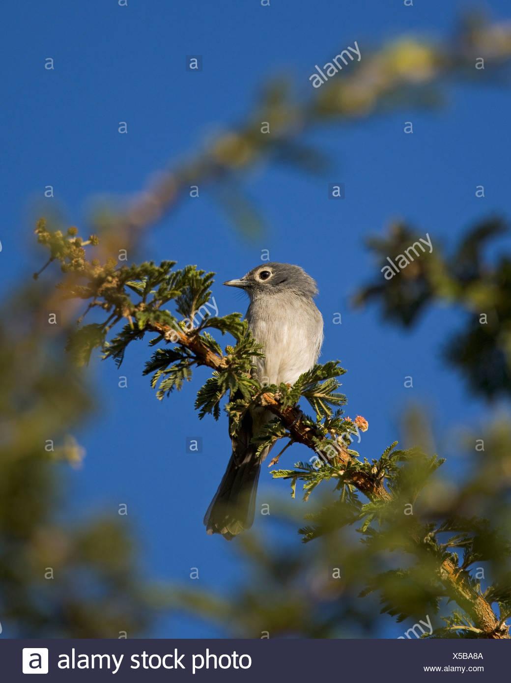 naivasha, rift valley, kenya, africa; white-eyed slaty flycatcher (melaenornis fischeri) - Stock Image