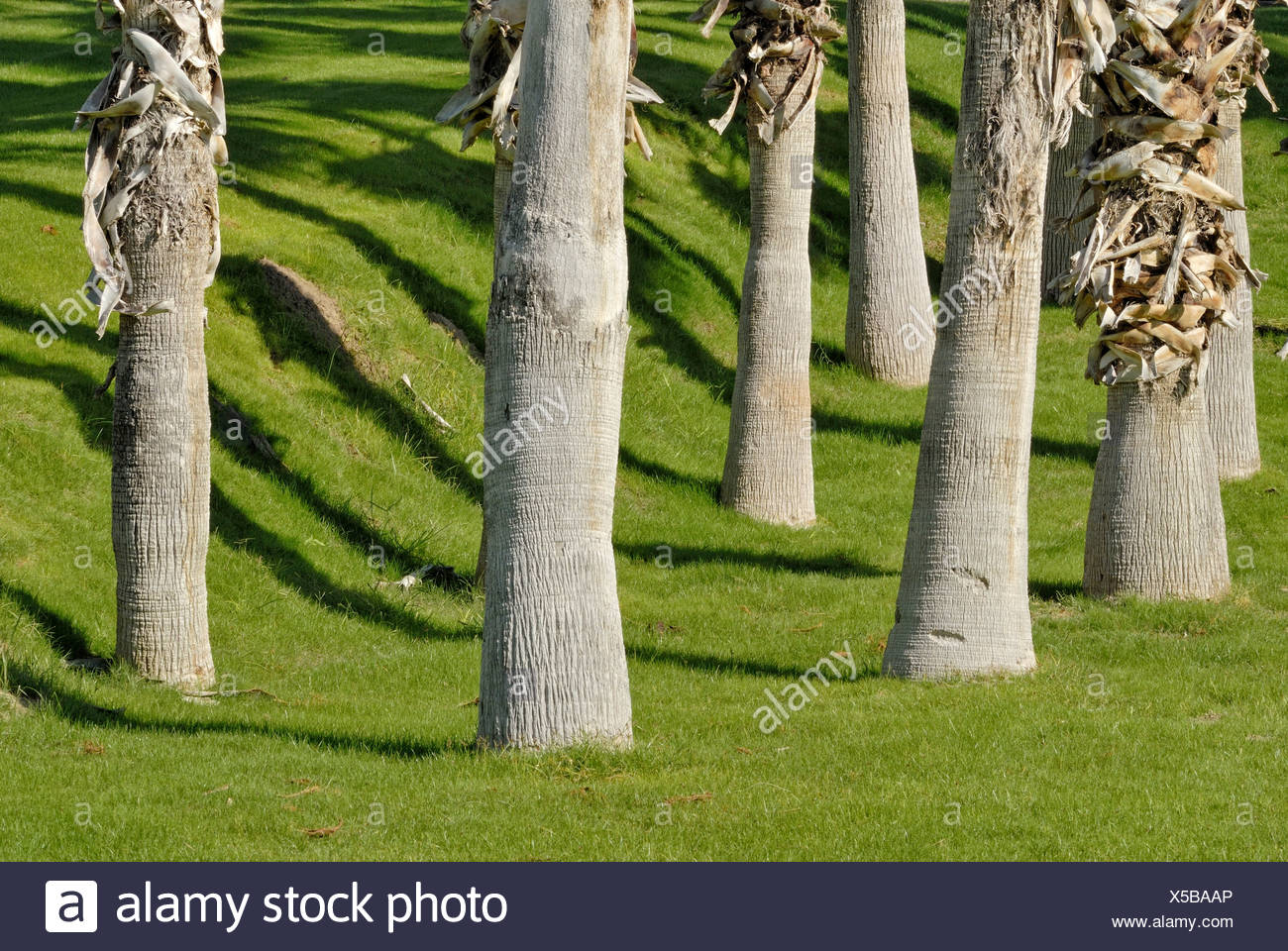Palm trunks, throwing shadows onto watered lawn, Indian Palm Country Club, Indio, Southern California, California, USA - Stock Image