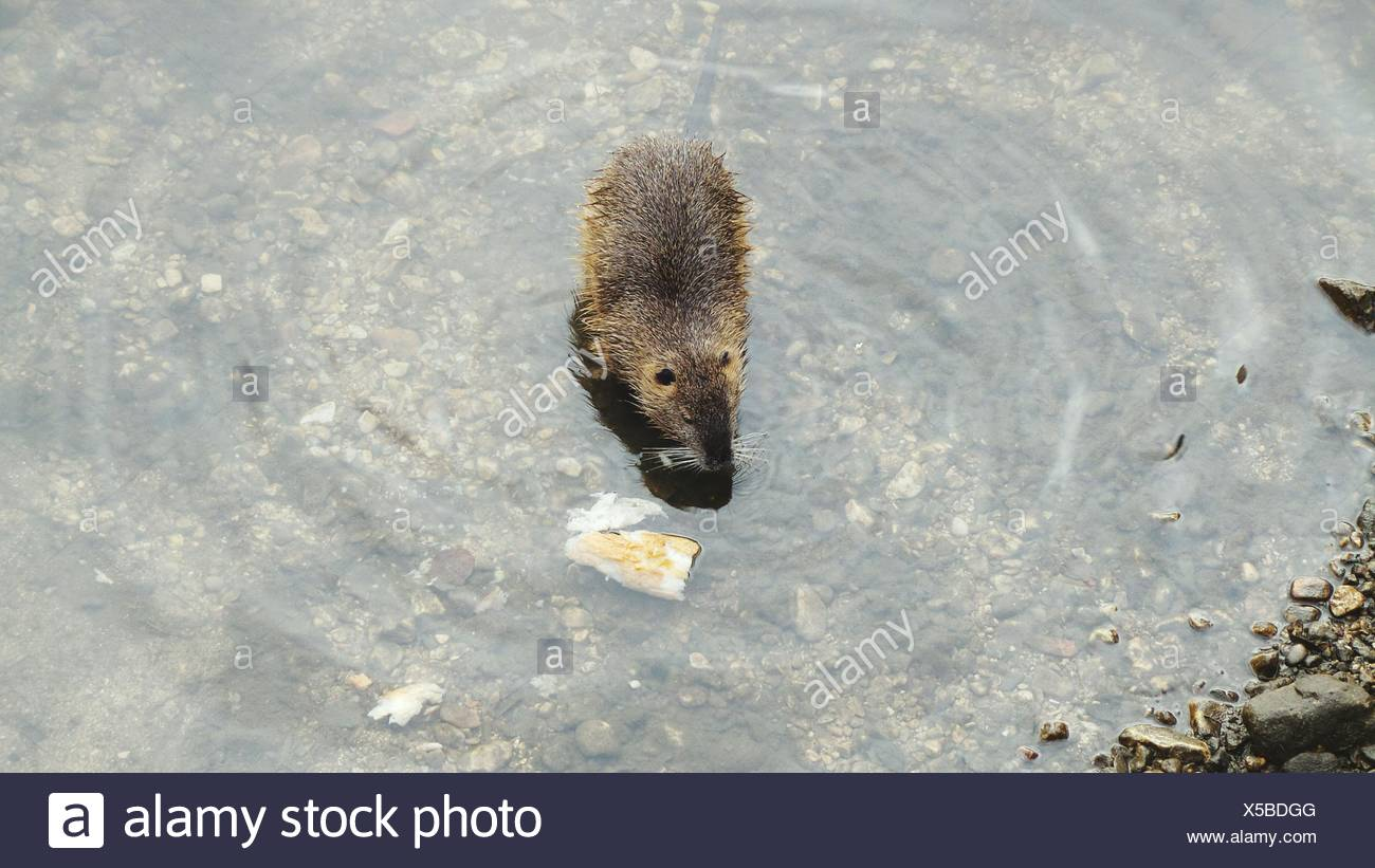Hedgehog In Water - Stock Image