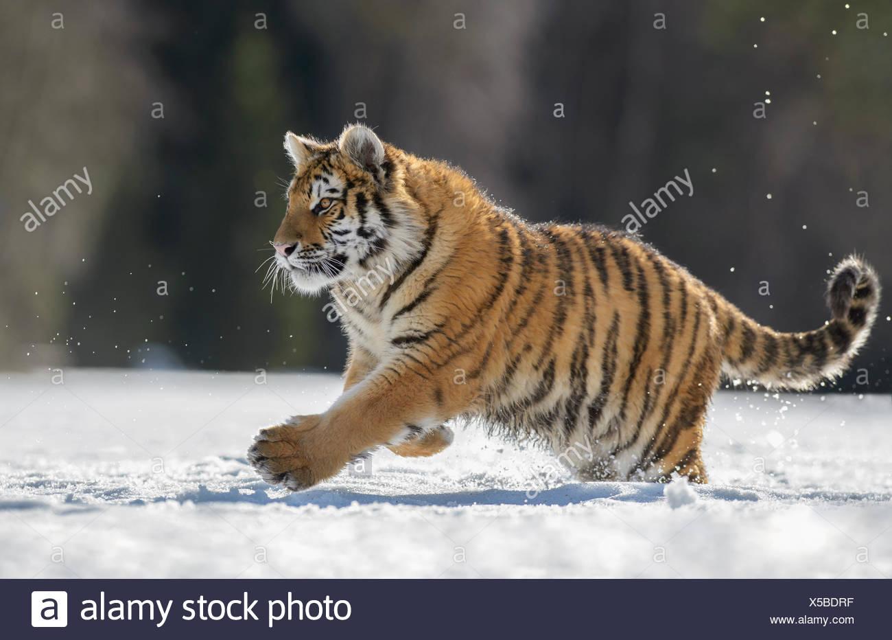 Siberian tiger (Panthera tigris altaica) juvenile running in snow, captive, Moravia, Czech Republic Stock Photo