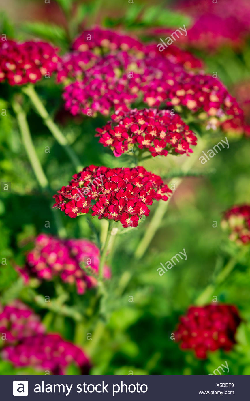 Red velvet Yarrow Stock Photo