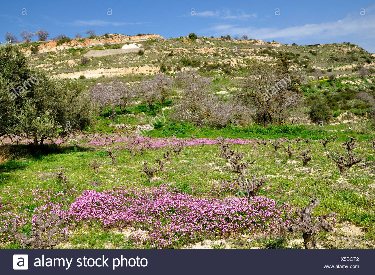 Silene fuscata (Silene fuscata), vineyard with Silene fuscata, Cyprus, Akamas Stock Photo