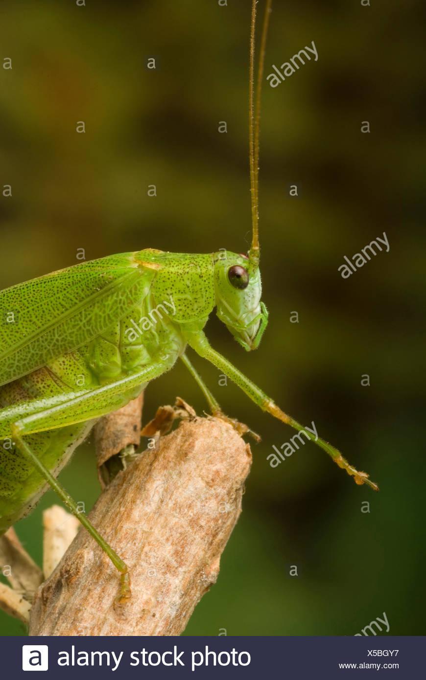 sickle-bearing bushcricket (Phaneroptera falcata), sitting on a twig, Germany - Stock Image