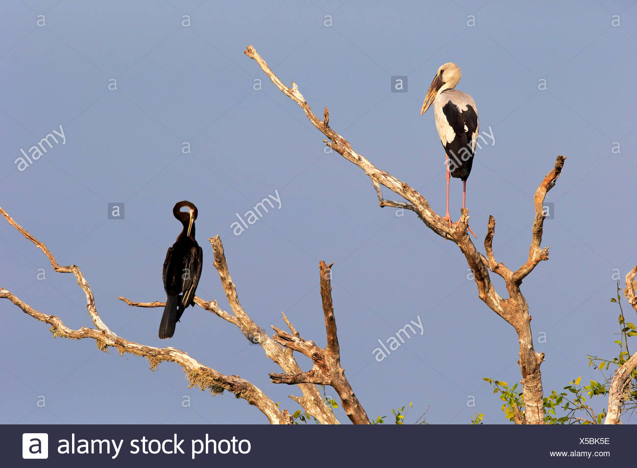 Asian openbill (Anastomus oscitans) and Oriental darter (Anhinga melanogaster), adult, sitting on a dry tree - Stock Image