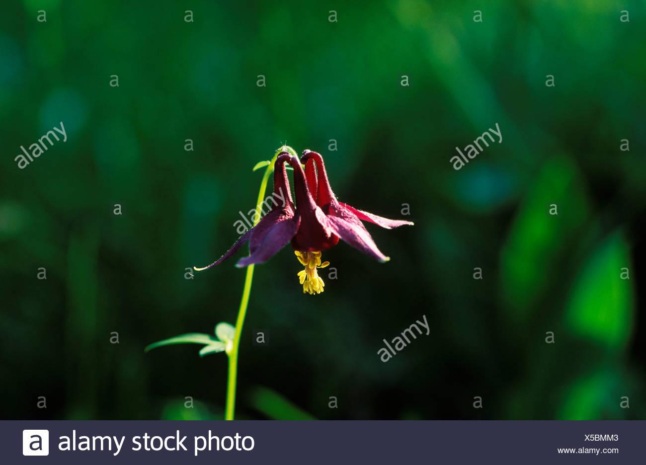 Noir violette Akelei-Aquilegia atrata