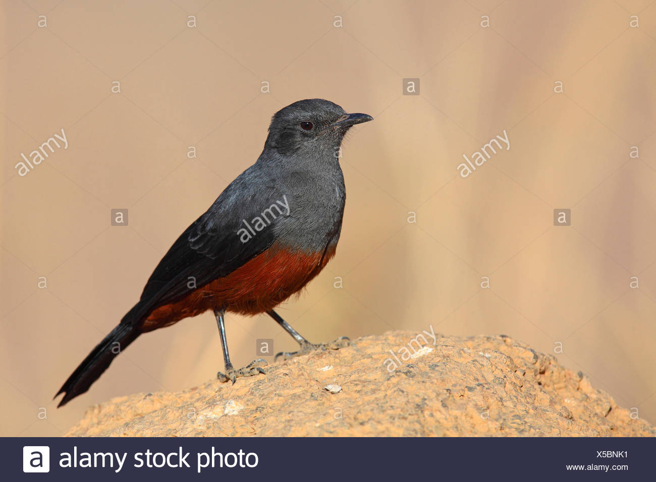 mocking cliffchat (Myrmecocichla cinnamomeiventris), female sits on a stone, South Africa, Pilanesberg National Park - Stock Image