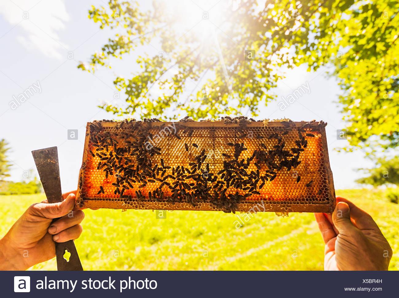 Beekeeper holding honeycomb - Stock Image