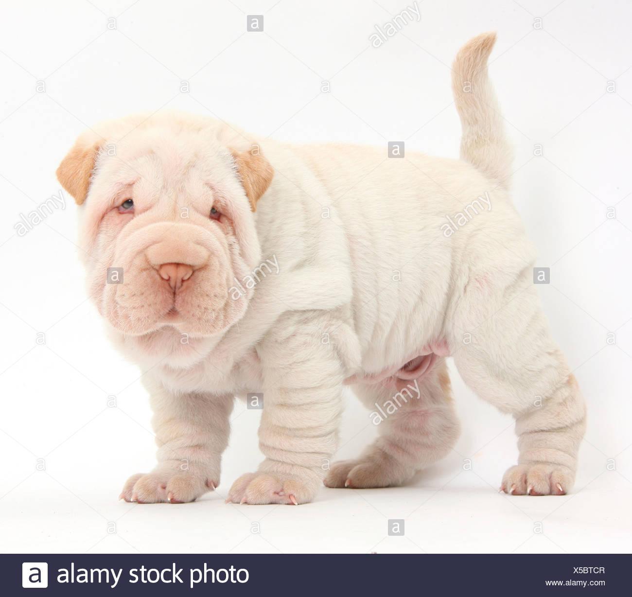 Shar Pei puppy standing. - Stock Image
