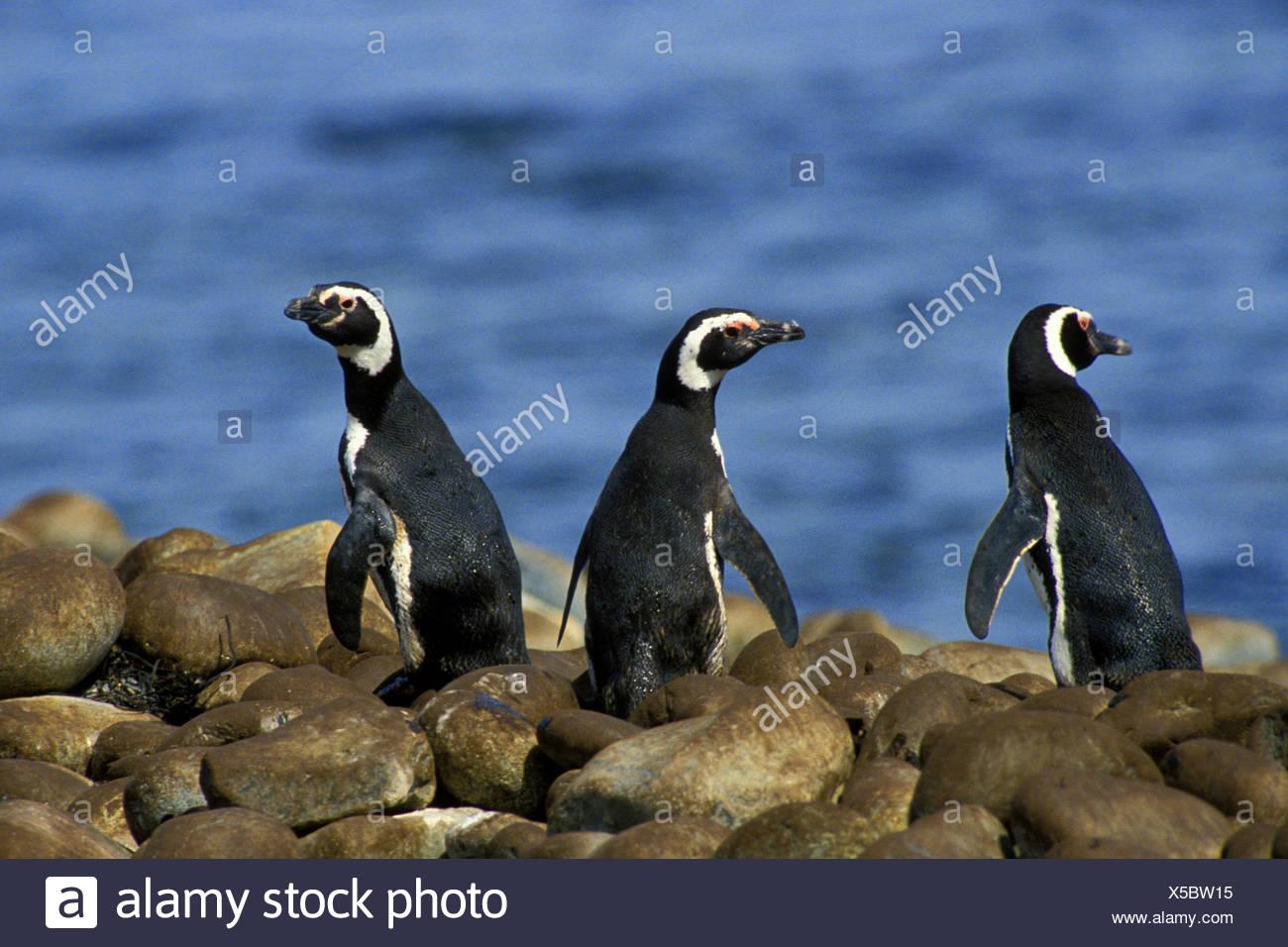 Magellanic penguin (Spheniscus magellanicus), three Magellanic penguins at Cape Horn, Chile, Kap Hoorn - Stock Image