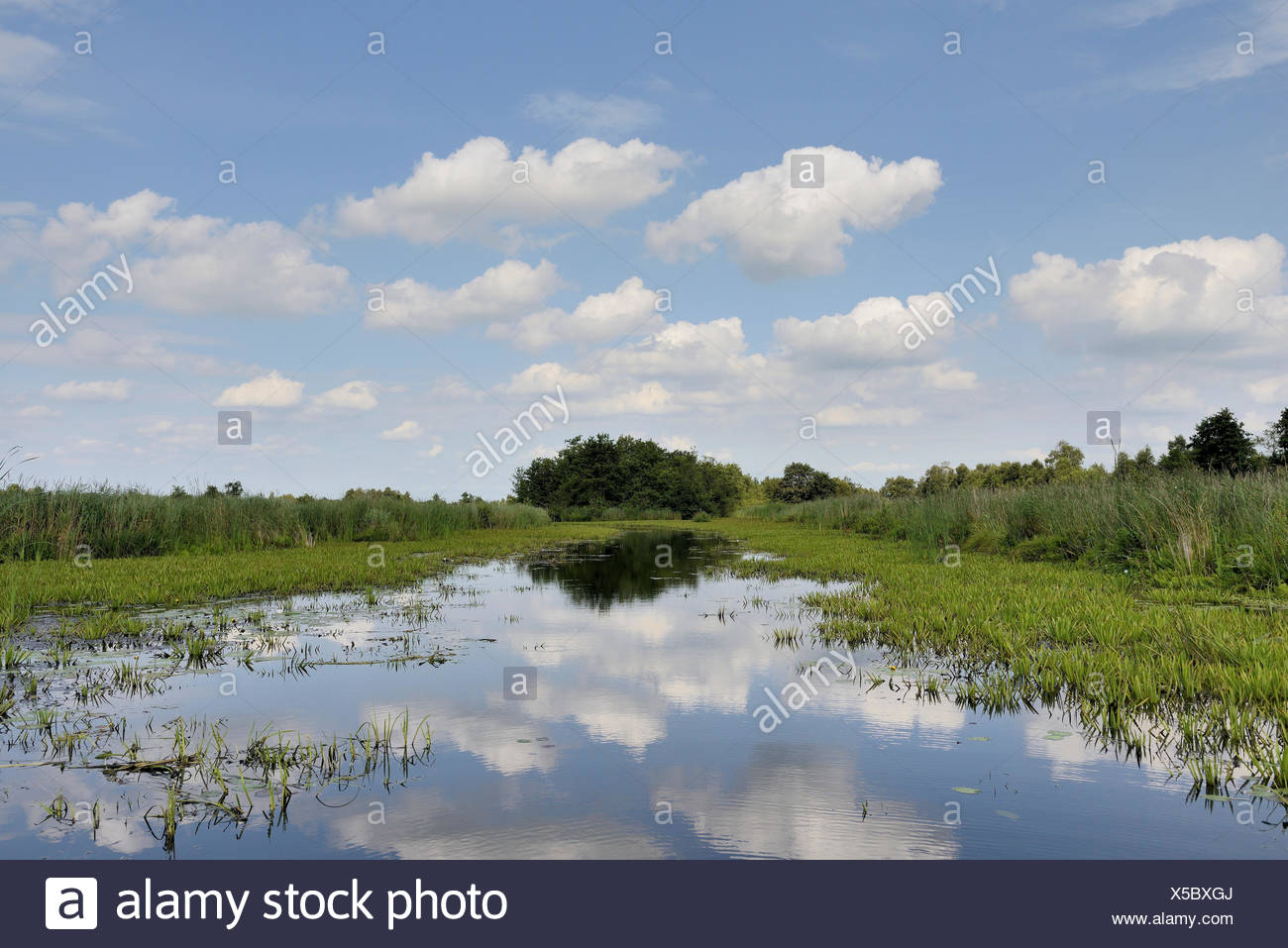 National Parc Weerribben-Wieden is a peat-bog area with reed, open water and Water Soldiers (Stratiotes aloides), The Netherlands, Overijssel, National Parc Weerribben-Wieden - Stock Image