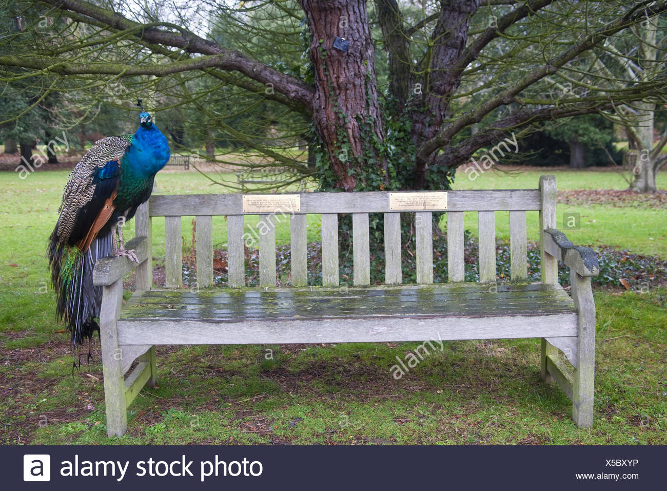 wooden bank, peacock, sit, animal, gallinaceous birds, feathers, brightly, nature, outside, park, little man, Phasianidae, Phasianidae, - Stock Image