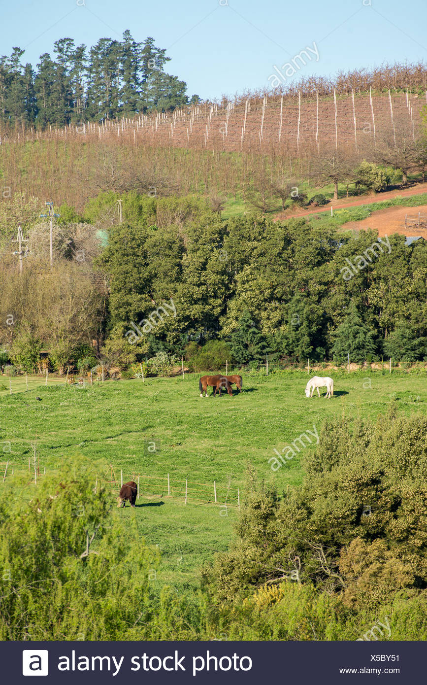 Horses and cow in distant fields - Stock Image