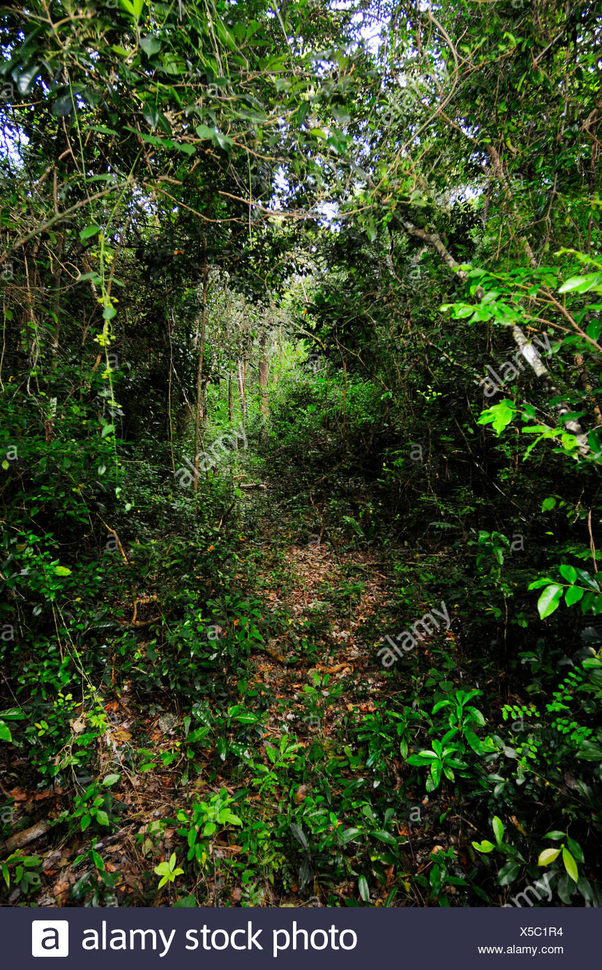 path in rainforest of New Caledonia, New Caledonia, Ile des Pins - Stock Image
