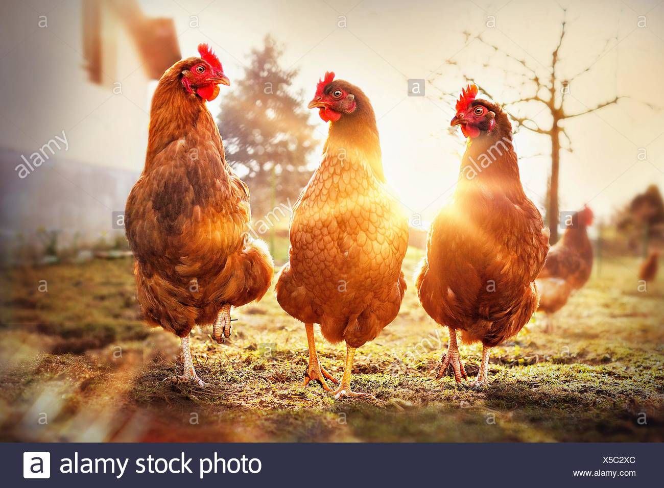 chicken - Stock Image