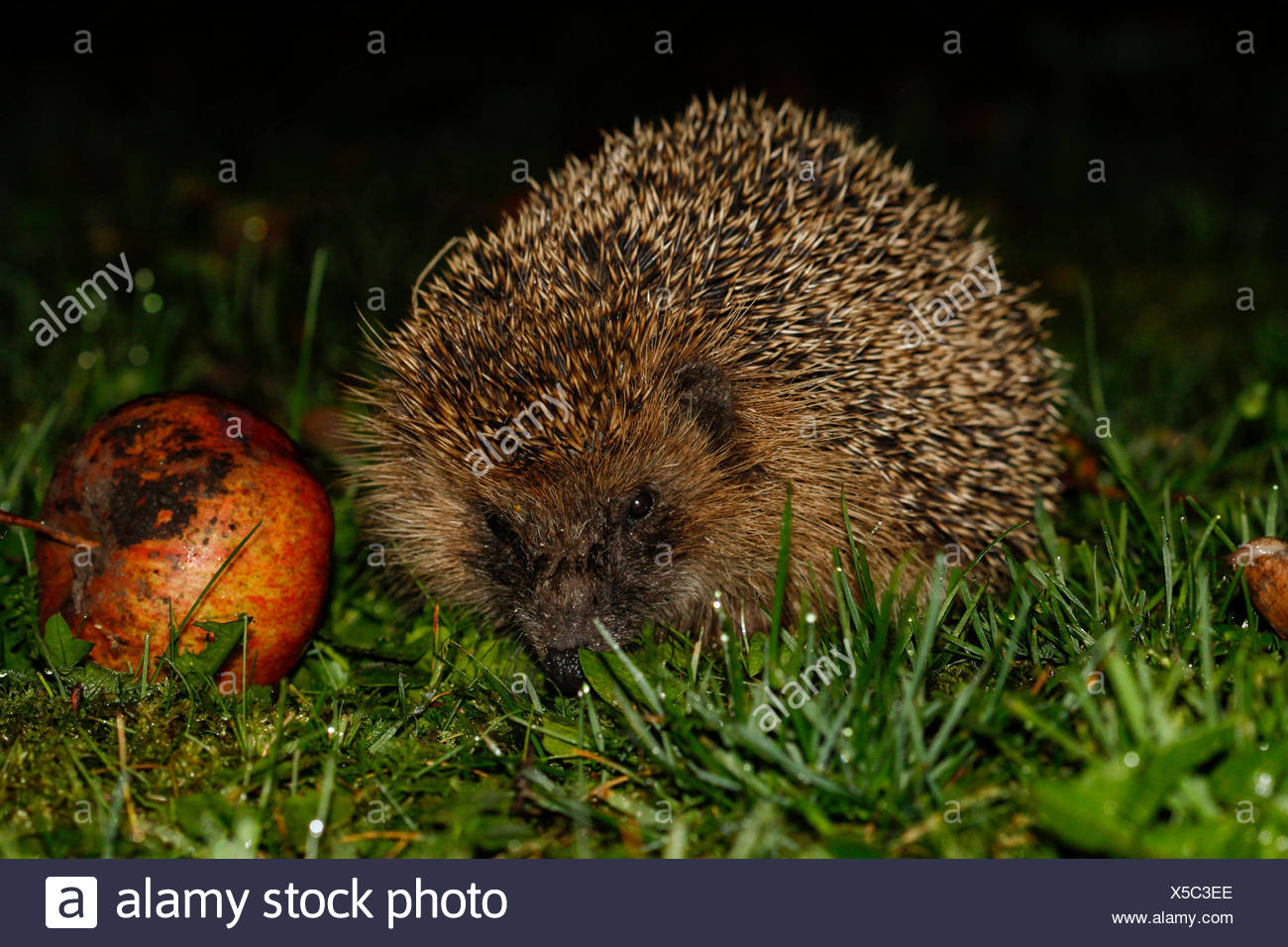 Young hedgehog (Erinaceus europaeus) with red apple, Bavaria, Germany - Stock Image