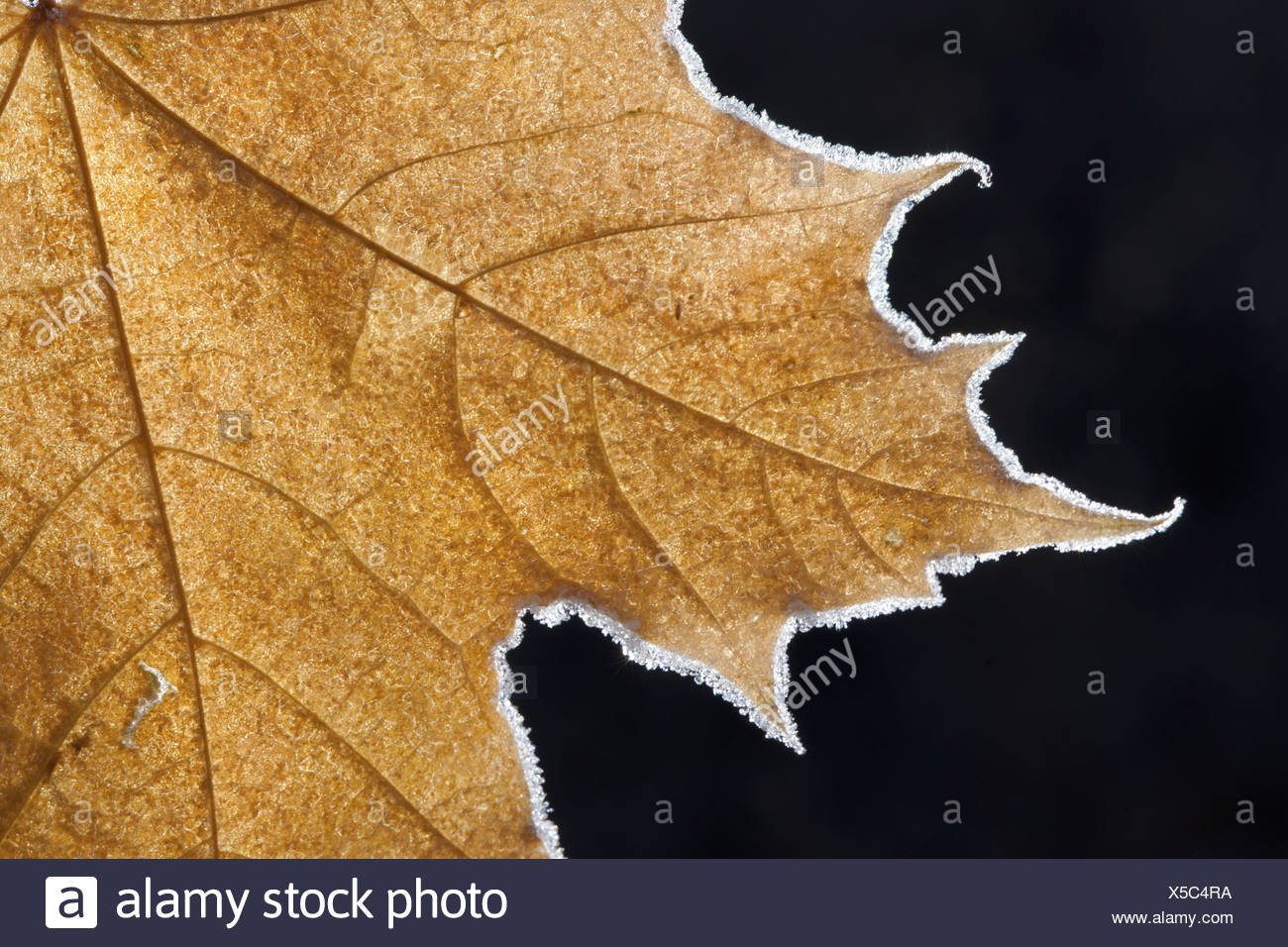Part of a brown frosted maple leaf with central ribs and distinctive outline. - Stock Image