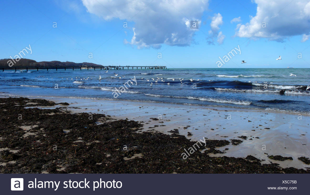 broad belt of algae washed up at the sand beach of the Baltic Sea, Germany, Mecklenburg-Western Pomerania, Ruegen - Stock Image