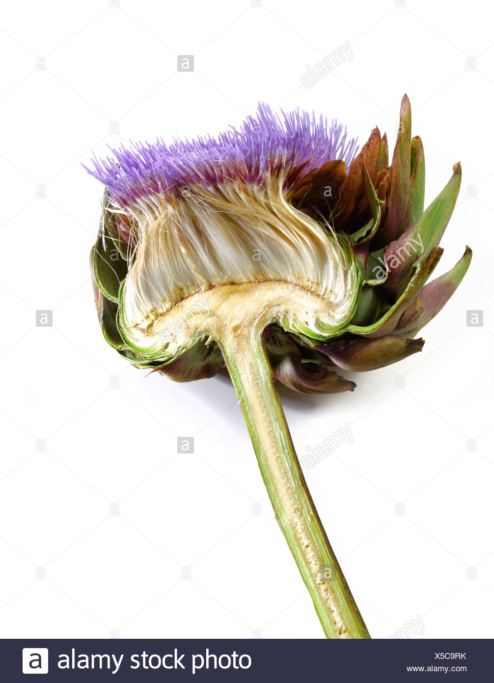 Halved flower of a Cardoon or Artichoke Thistle (Cynara cardunculus, Cynara scolymus) - Stock Image