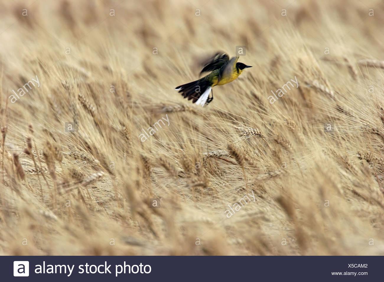 Ashy-headed Wagtail, Yellow wagtail (Motacilla flava cinereocapilla), flying over grain field, Italy, Apulia, Pulia - Stock Image