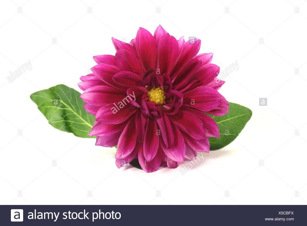 fresh little dahlia - Stock Image