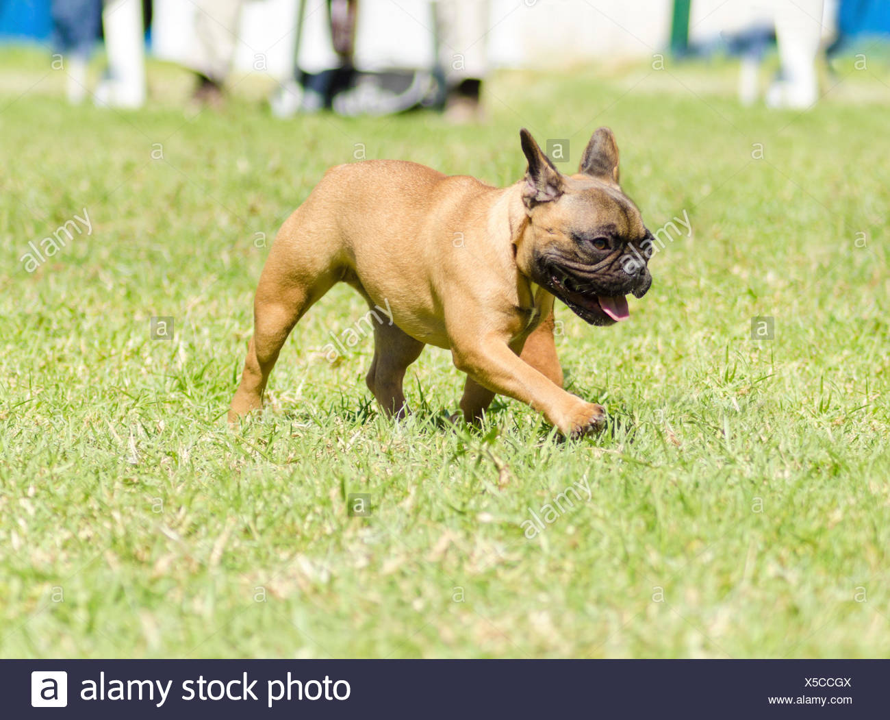 A small,young,beautiful, fawn brown French Bulldog with black mask walking on the grass looking playful and cheerful. It has distinct bat ears, short face and they are good companion dogs. Stock Photo