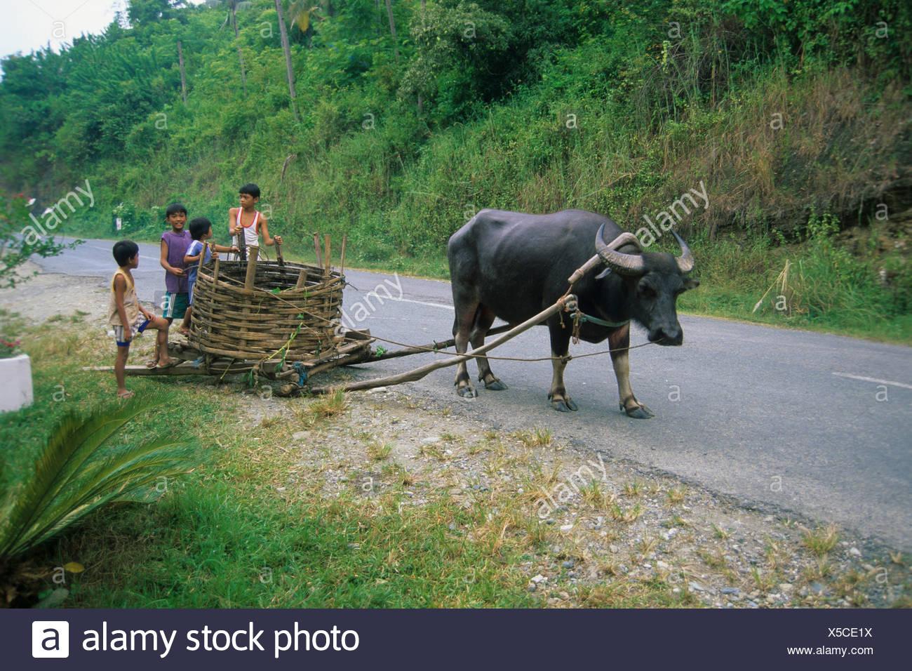 Carabao (Bubalus bubalis), domesticated water buffalo, used to transport coconuts, Puerto Galera, Mindoro, Philippines, Asia - Stock Image