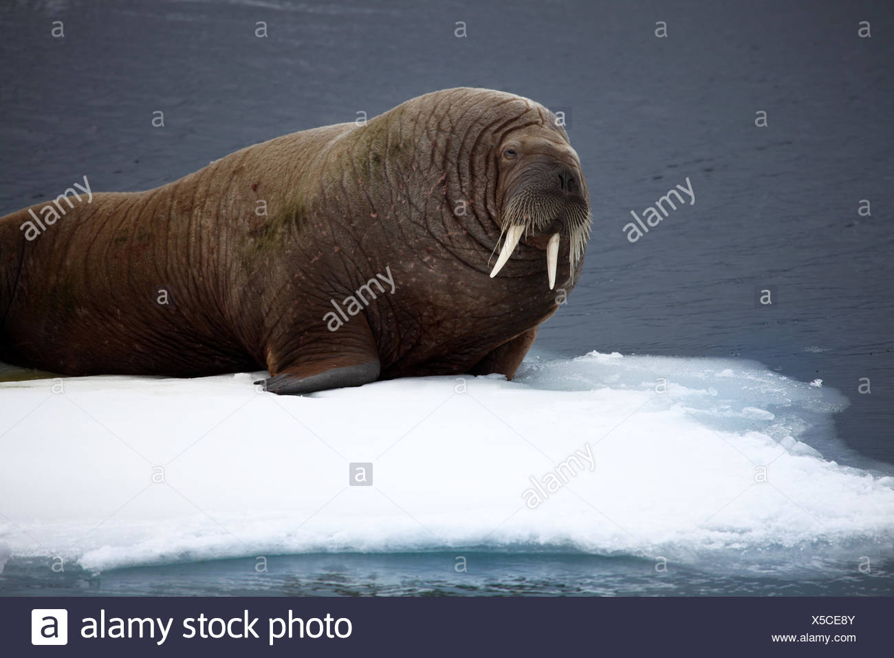 ice seal floe - Stock Image