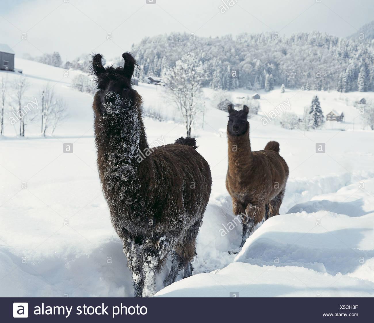 alpaca German silver canton St. Gallen llama lama snow Switzerland Europe animal beast animals beasts To - Stock Image