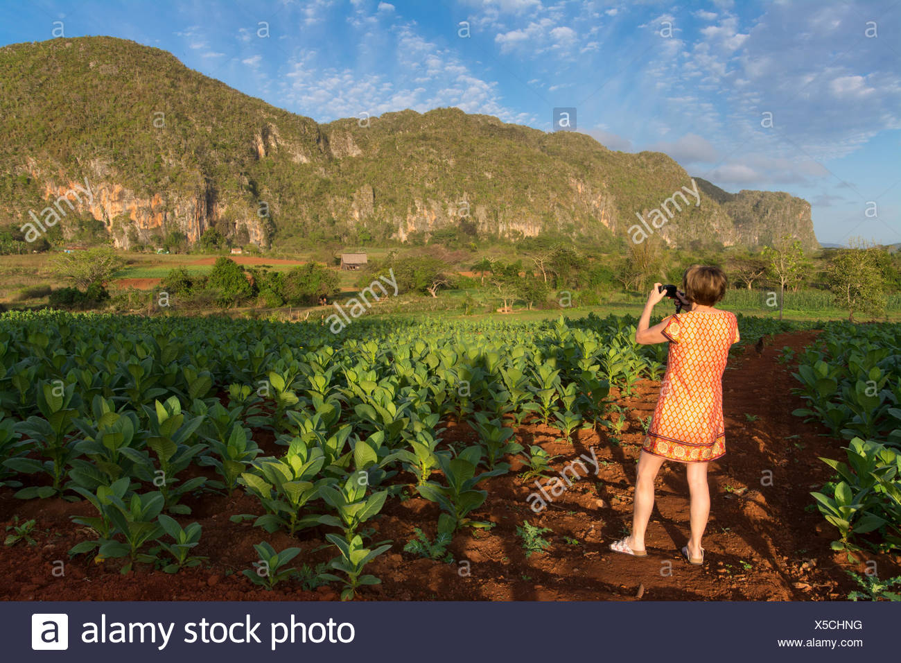 Traveller looks out to view  ripe tobacco plants and limestone cliffs,   Vinales, Cuba - Stock Image