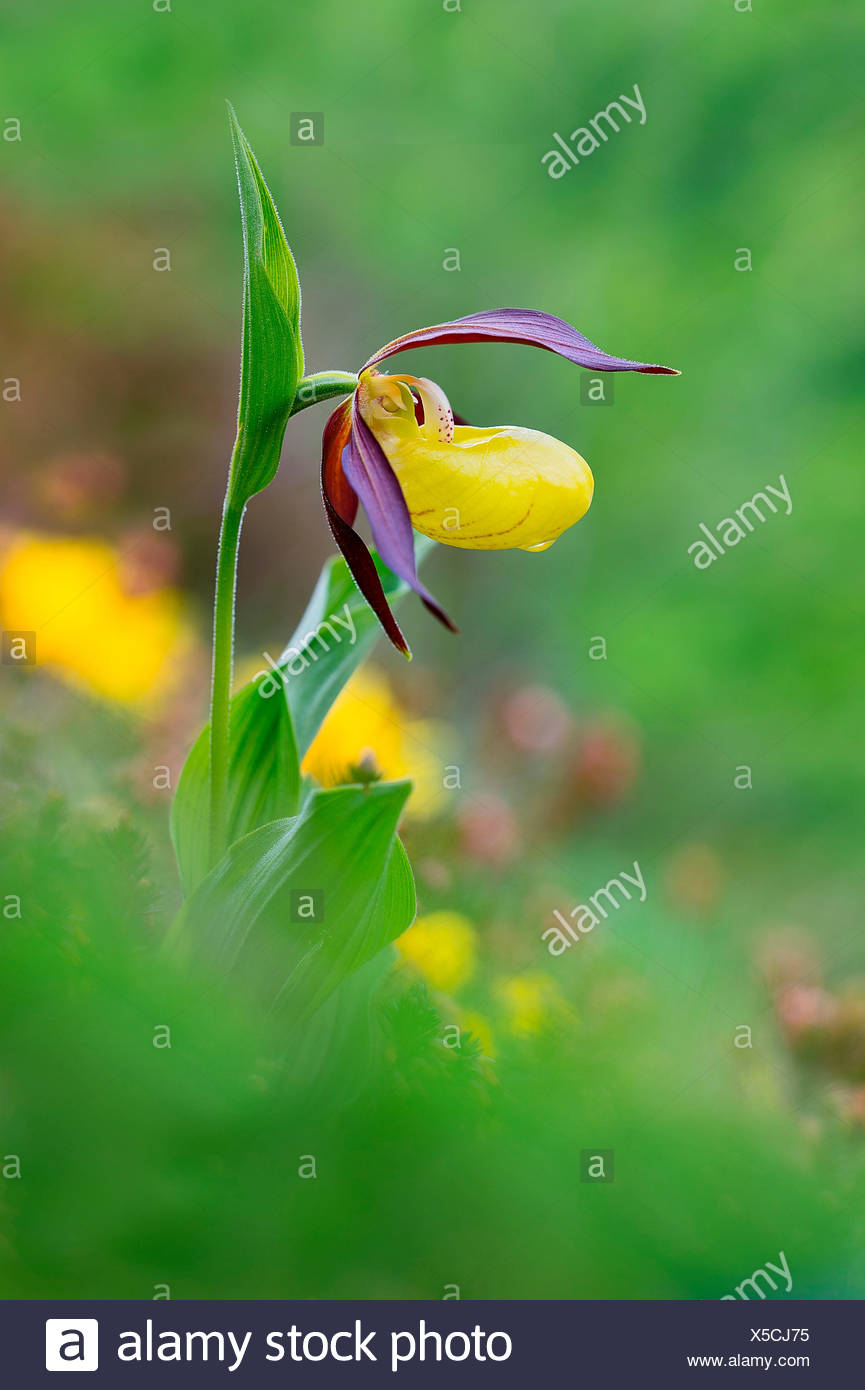 Gaver, Bagolino, Lombardy, Kenya The Cypripedium calceolus, also called lady's slipper, is one of the most beautiful orchids - Stock Image