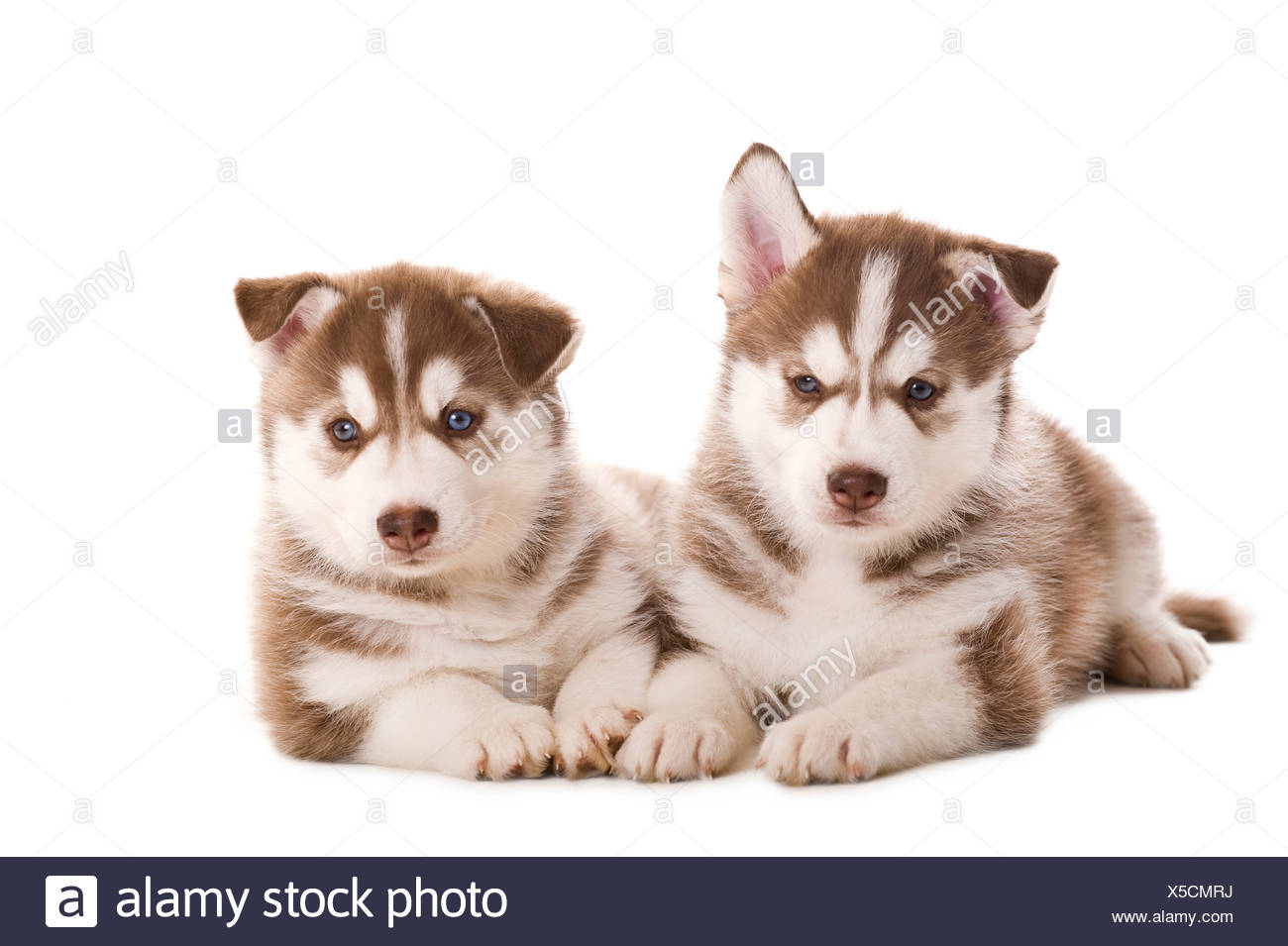 Siberian Husky. Two puppies lying. Studio picture against a white background - Stock Image