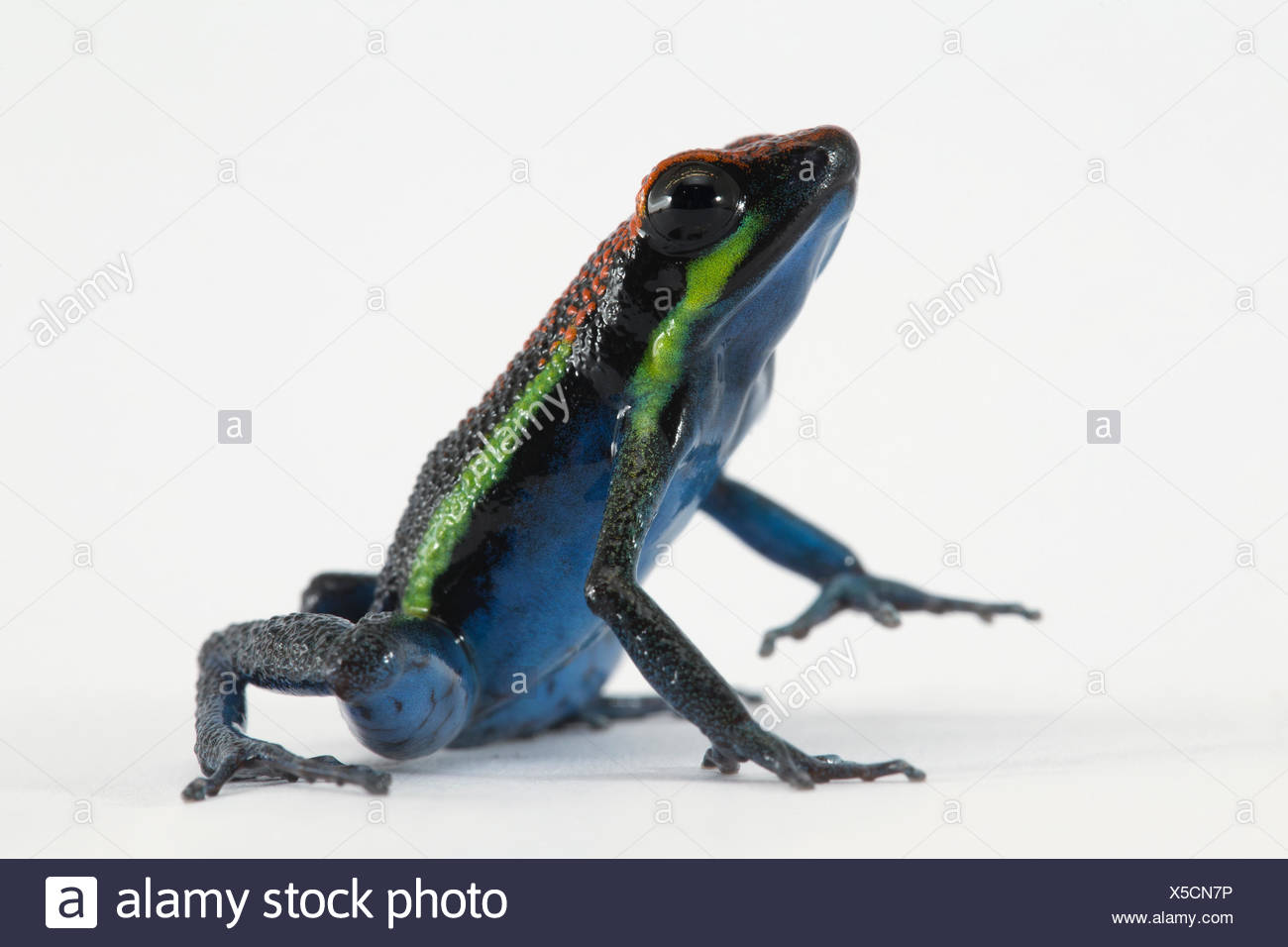 A new species of poison dart frog belonging to the genus Ameerega. - Stock Image