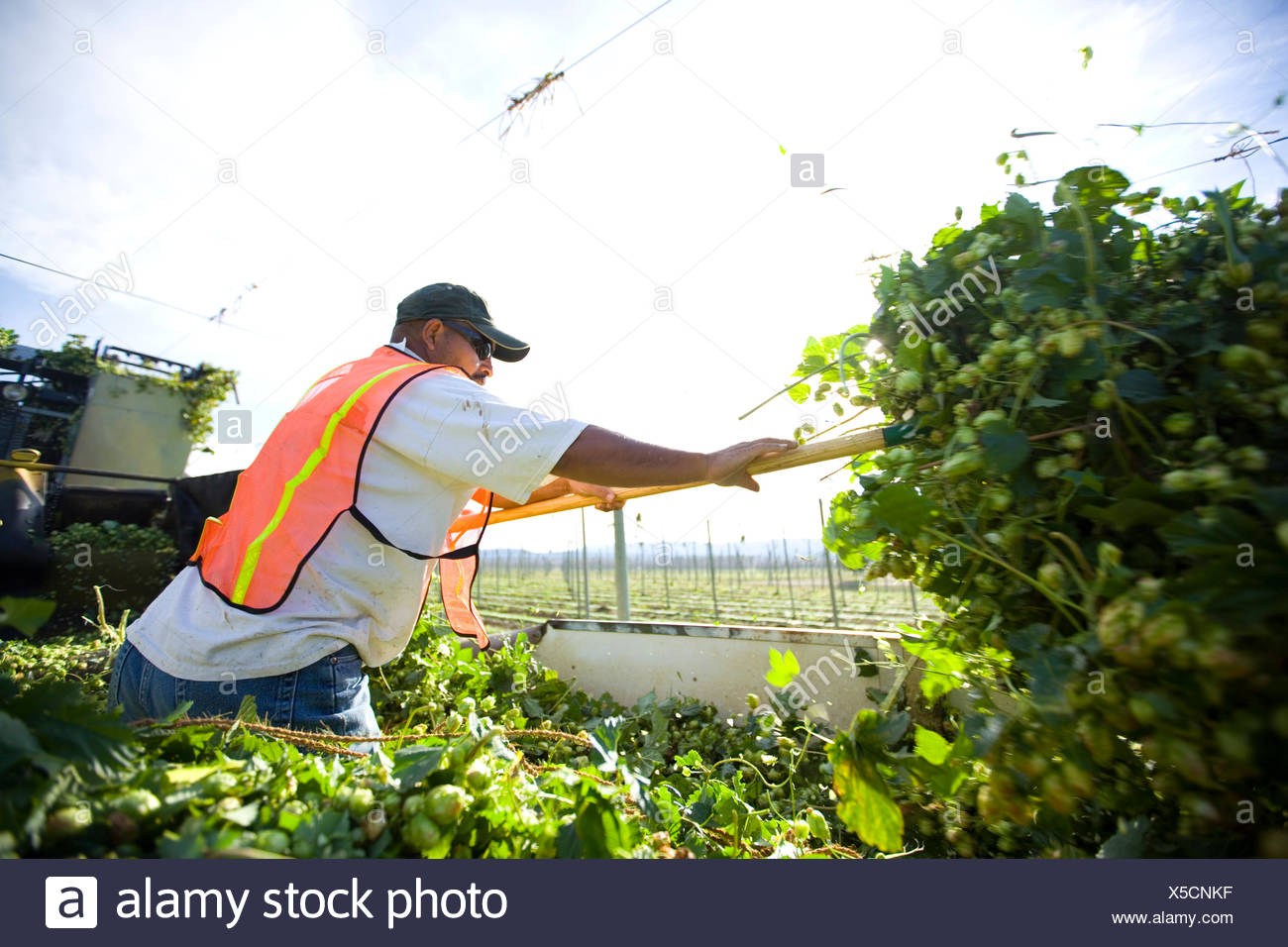 A worker spreads hops in the back of a truck as they are cut. - Stock Image