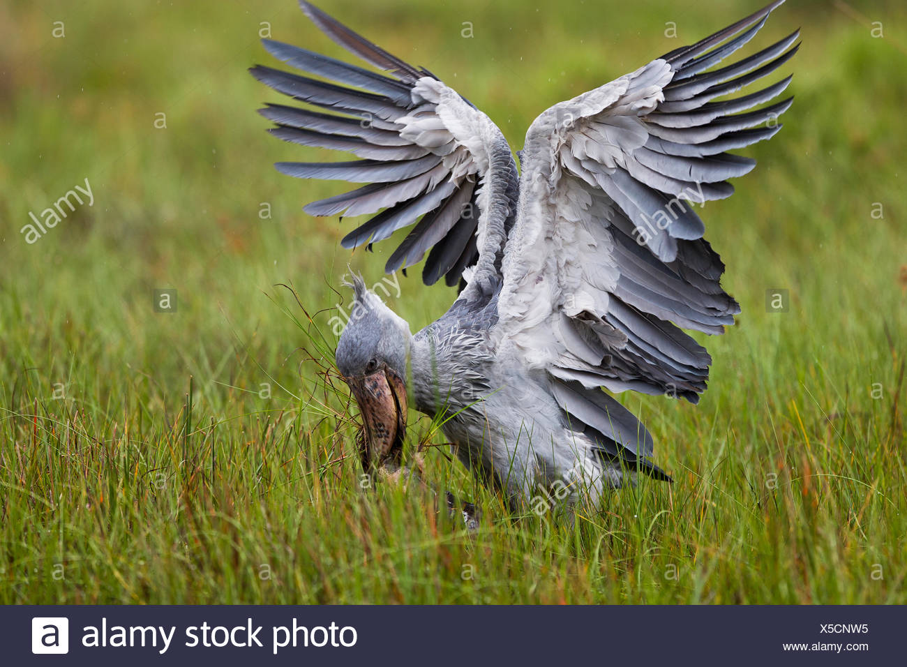 Whale headed / Shoebill stork (Balaeniceps rex) catching a Lungfish (Protoperus sp) in the swamps of Mabamba, Lake Victoria, Uganda   / Bec en sabot, dipneuste, Lac Victoria, Ouganda - Stock Image